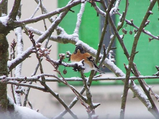 Pinson du Nord plumage ebouriffé pour supporter le froid